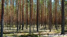 SWE, 2009: Waldkiefer, Foehre (Pinus sylvestris). Kiefernwald in Schweden. [en] Scots Pine (Pinus sylvestris). Forest in Sweden. | SWE, 2009: Scots Pine (Pinus sylvestris). Forest in Sweden.