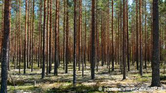 Kiefernwald in Sweden. [en] Scots Pine (Pinus sylvestris). Forest in Sweden.   SWE, 2009: Scots Pine (Pinus sylvestris). Forest in Sweden.