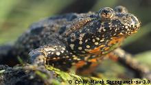 """Die Rotbauchunke (Bombina bombina), manchmal auch Tieflandunke oder Feuerkröte genannt, gehört innerhalb der Ordnung der Froschlurche zur """"urtümlichen"""" Familie Bombinatoridae – oft wird sie aber noch zu den Scheibenzünglern gestellt – und zur Gattung der Unken Quelle: Wikipedia"""