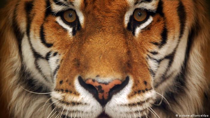 ARCHIV - Ein Bengal-Tiger im Tiger-Garten Waldeck in Ingelheim am Rhein (Foto vom 07.05.2012). Sieben von den in der Natur als stark gefährdet eingestuften Bengal-Tigern oder auch Königstigern haben im Tiger-Garten Waldeck ein Zuhause. Von den in Indien, Nepal, Bhutan, Bangladesh und West-Myanmar vorkommenden Tigern leben nach Schätzungen der Naturschutzorganisation World Wide Fund For Nature (WWF) noch etwa 1.850 Tiere. Foto: Fredrik von Erichsen dpa/lrs (zu lrs-Korr Tiger am Rhein vom 30.05.2012) +++(c) dpa - Bildfunk+++