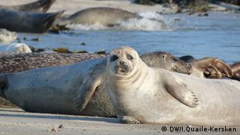 Robbenfellprodukte dürfen nicht in die EU importiert werden. Robben, Nordsee Copyright: DW/Irene Quaile-Kersken August, 2012