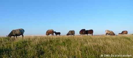 Schafe - Idylle Nordseeinsel Helgoland Copyright: DW/Irene Quaile-Kersken August, 2012