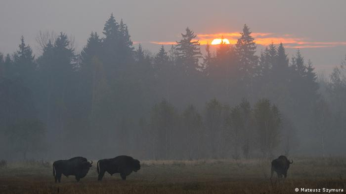 Bison in Białowieża National Park, Poland
