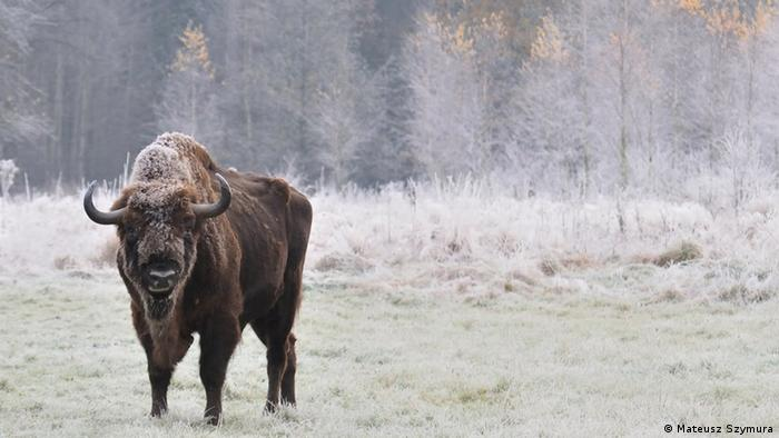 Wisent in Polish forest in winter