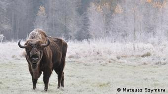 Foto: A wisent roams on a snow-covered field (Foto: Mateusz Szymura)