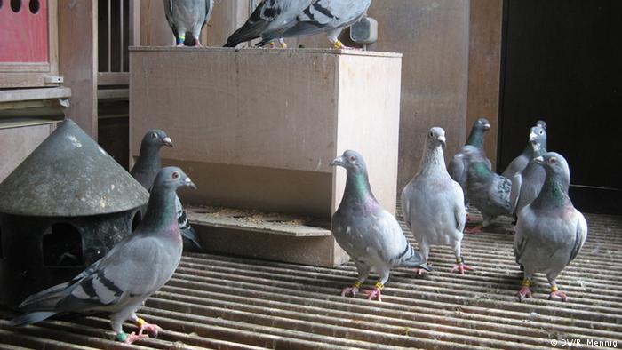Tauben in einem Taubenschlag