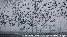 TO GO WITH AFP STORY:Massacre exposes anarchy, incompetence in rural Russia by Stuart Williams A murder of crows flies over a highway not far from the village of Kushchevskaya in Kranodar region, southern Russia on November 20, 2010. Bandits from a local criminal group had broken into a house a few days ago, stabbed ten of the diners to death and suffocated two others in a bloodbath that lasted one-and-a-half hours. AFP PHOTO/ MIKHAIL MORDASOV (Photo credit should read MIKHAIL MORDASOV/AFP/Getty Images)