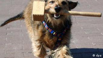 A dog carrying a hammer with his mouth