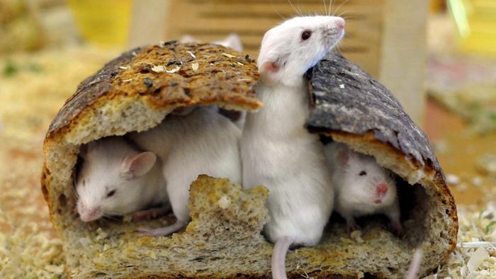 Vier weiße Mäuse hocken in einem ausgehöhlten Stück Brot