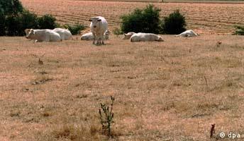 Dürre in der Normandie Frankreich ausgetrocknete Wiesen