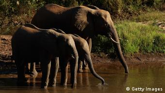 Elephants drink from the Luvuvhu river at the Pafuri game reserve on July 23, 2010 in Kruger National Park, South Africa. (Photo by Cameron Spencer/Getty Images)