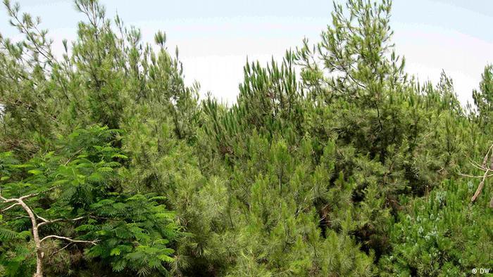 Ägypten Bäume in der ägyptischen Wüste Wälder