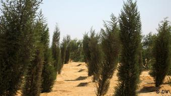 A newly-planted forest outside of Cairo, Egypt.
