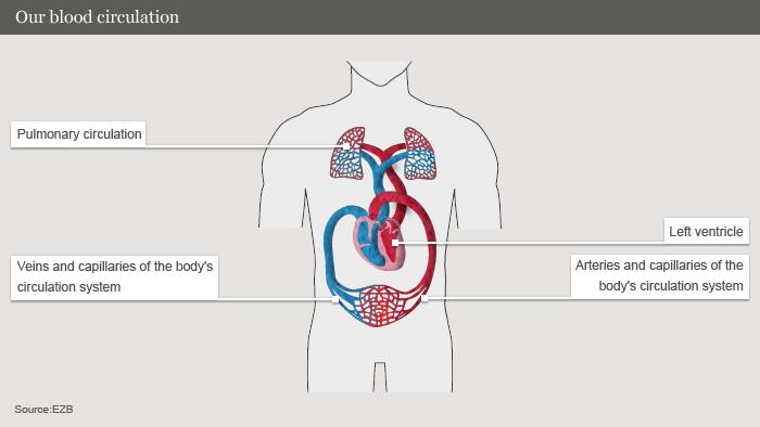 Infografik Herz 2 Blutkreislauf ENG