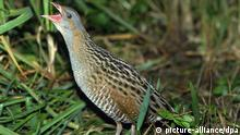 A corncrake moves across the ground in long grass