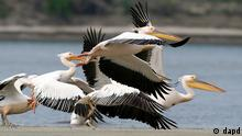 dapd - Pelicans fly over the Danube Delta