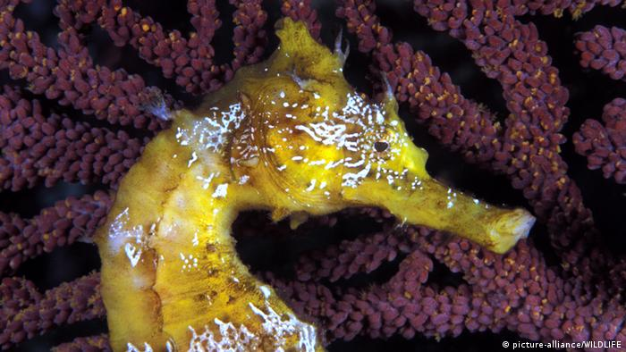 Seahorse (photo: picture alliance/WILDLIFE)