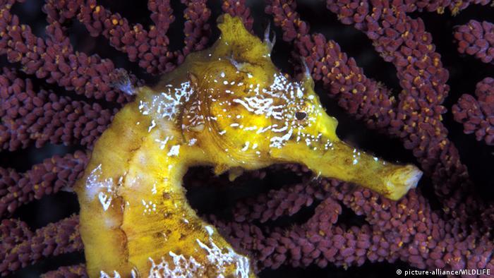 Seahorse Pacific Ocean