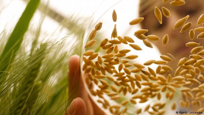 Barley kernels in petri dish