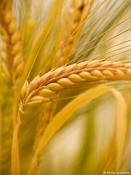 stalk of barley