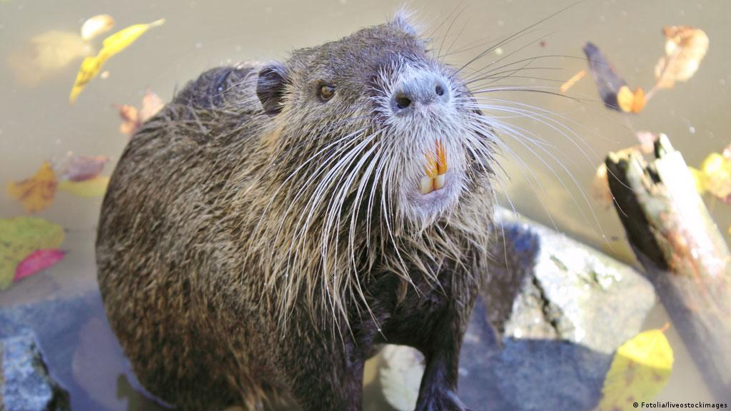 Destruction of wetlands: swamp rats eating away at Louisiana