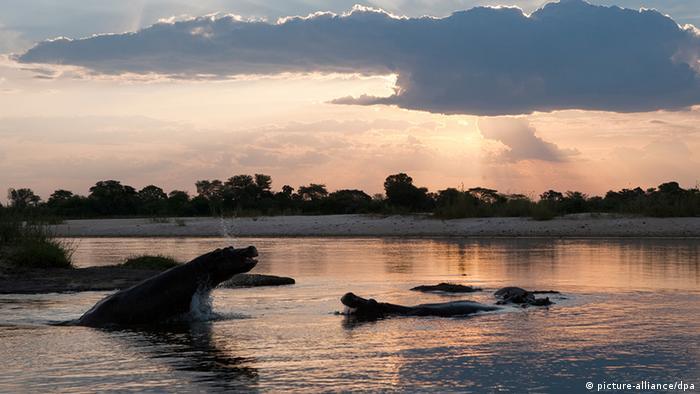 Flusspferde im Fluss Okavango (Foto: dpa)
