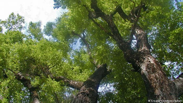 Rosewood tree (Picture: Creativ Commons/autan)
