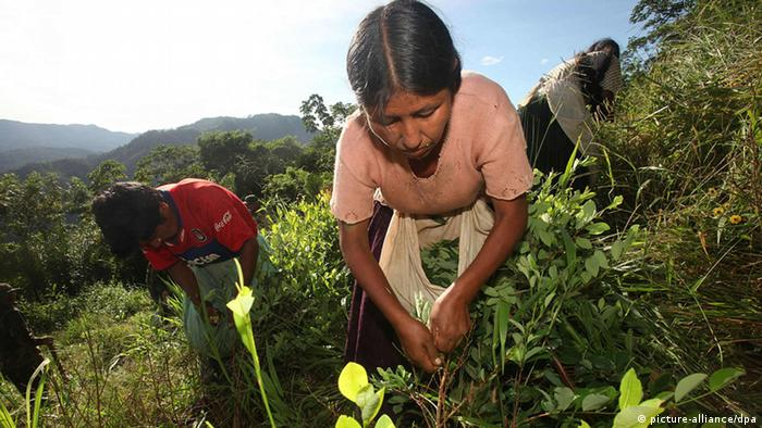 A lady picks coca leaves at a plantation in La Asunta, Bolivia