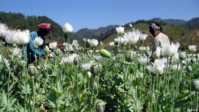 In this photo released by United Nations Office on Drugs and Crime, villagers harvest opium at a field in Myanmar's Shan state. The cultivation of illegal opium has increased in Myanmar for a sixth successive year, fueled in part by rising demand for heroin across Asia, the UN report found(Photo: UNODC/AP/dapd)