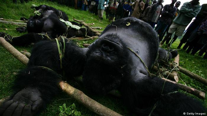 A dead gorilla