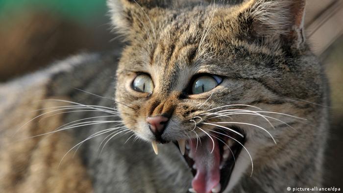 Лесной кот в Хайнихе