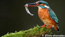 Bildergalerie bedrohte Tier- und Pflanzenarten Eisvogel