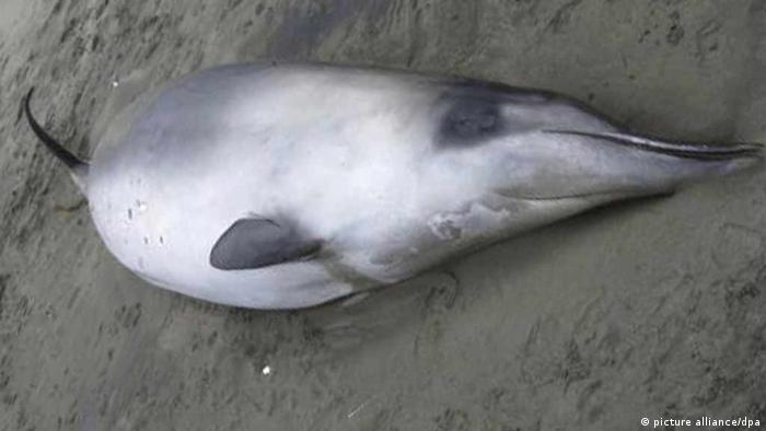 A dead spade-toothed whale is pictured lying on a New Zealand beach in 2010.