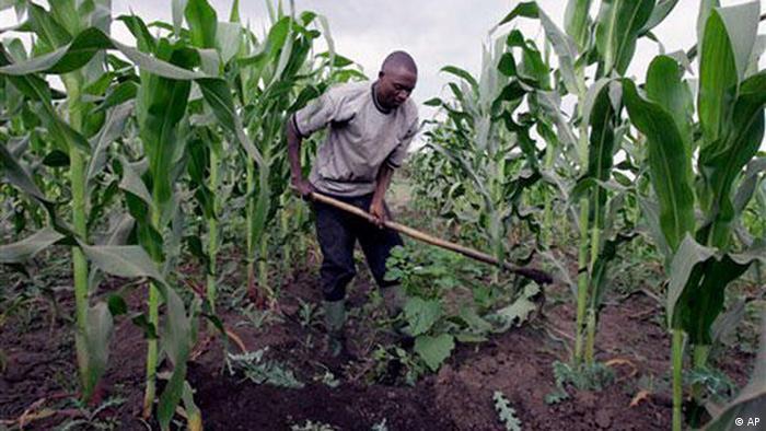 Farming corn in Africa