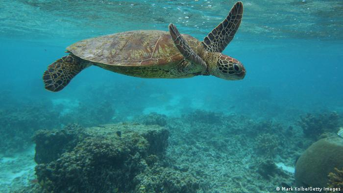 Hawksbill sea turtle in the Great Barrier Reef, Australia (Picture: Mark Kolbe/Getty Images)