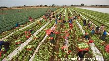 Afrika moderne Landwirtschaft Eisbergsalat Ernte in Südafrika