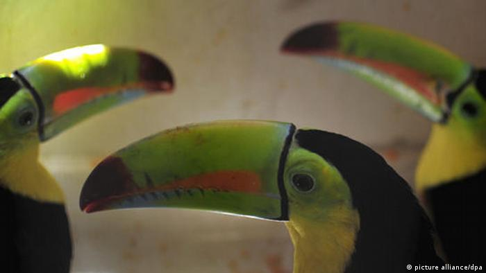 Three toucans are seen in a cage in an illegal zoo that authorities found in a house of Guatemala City, Guatemala, on 12 March 2010. Dozens of birds, monkeys, deers and other endangered species from Guatemala, Honduras and other countries were seized by authorities. EPA/Ulises Rodriguez +++(c) dpa - Bildfunk+++