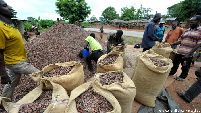 Cocoa harvest in Ivory Coast