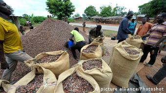 Cocoa crop in Ivory coast