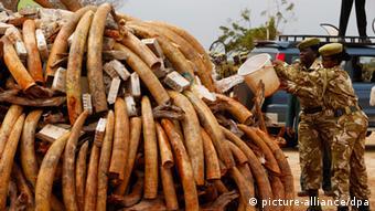 Kenianische Ranger bereiten die Verbrennung von 4,6 Tonnen Elfenbein im Tsavo West National Park vor (Foto: Foto: Dai Kurokawa, dpa - Bildfunk)