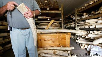 A man holds up an elephant tusk 30.10.2002