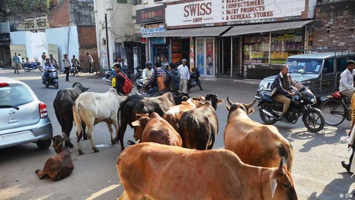 Kühe auf der Straße in Lucknow