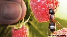 raspberry morning, ant and human take berries 22655754
