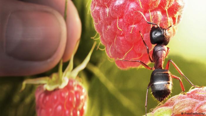 Ameise Himbeere Süß Zucker Frucht Tier Insekt