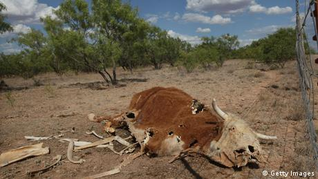 Parched animal (photo: Scott Olson/Getty Images)