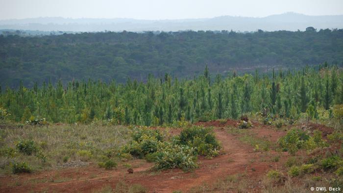 Produção de eucalipto na província do Niassa (foto de aquivo/2012)