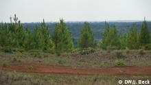Holz Mosambik Baumstamm Niassa Waldwirtschaft Export Kiefer Aufforstung