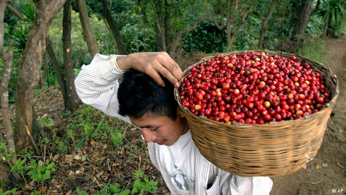 Photo: A man carrying a basket with freshly harvested coffee beans (Photo: AP)