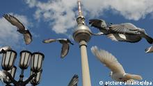 Pigeons in Berlin (picture-alliance/dpa)