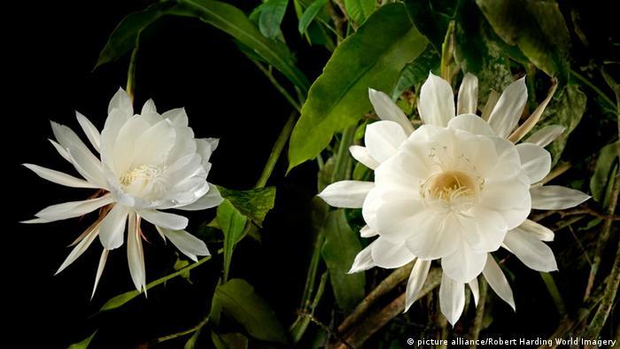 Epiphyllum oxypetalum (Kadupul Flower)